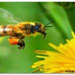 Mengenal Lebah, Madu dan Manfaatnya Bagi Kita