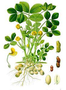 Pokok Kacang Khasiat Dan Kebaikan Kacang Tanah