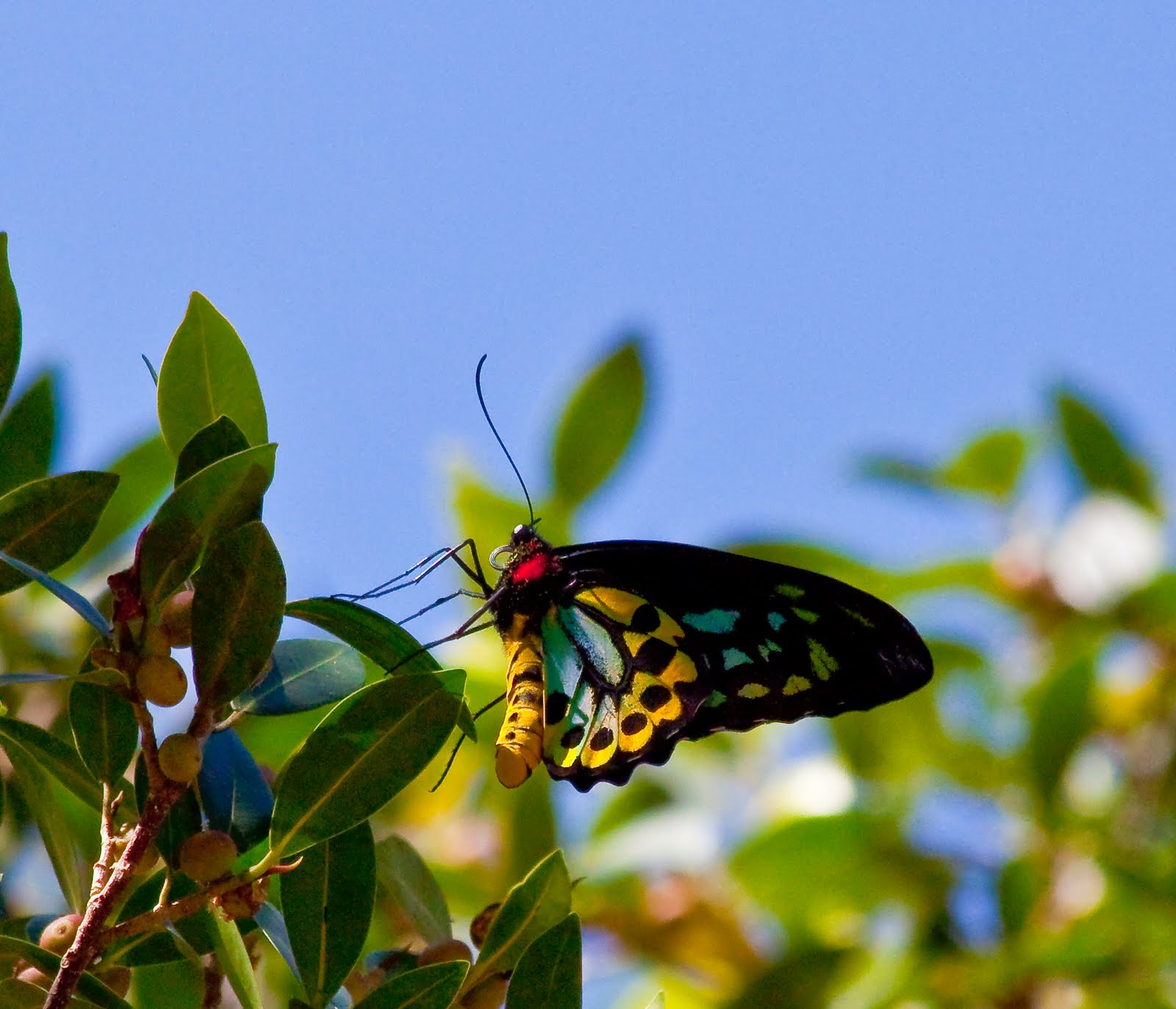 Richmond Birdwing Erfly